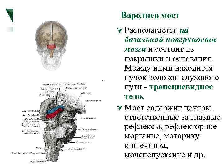 Варолиев мост Ú Располагается на базальной поверхности мозга и состоит из покрышки и основания.