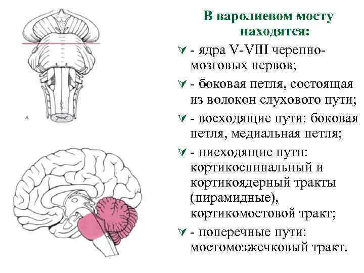 В варолиевом мосту находятся: Ú ядра V VIII черепно мозговых нервов; Ú боковая петля,