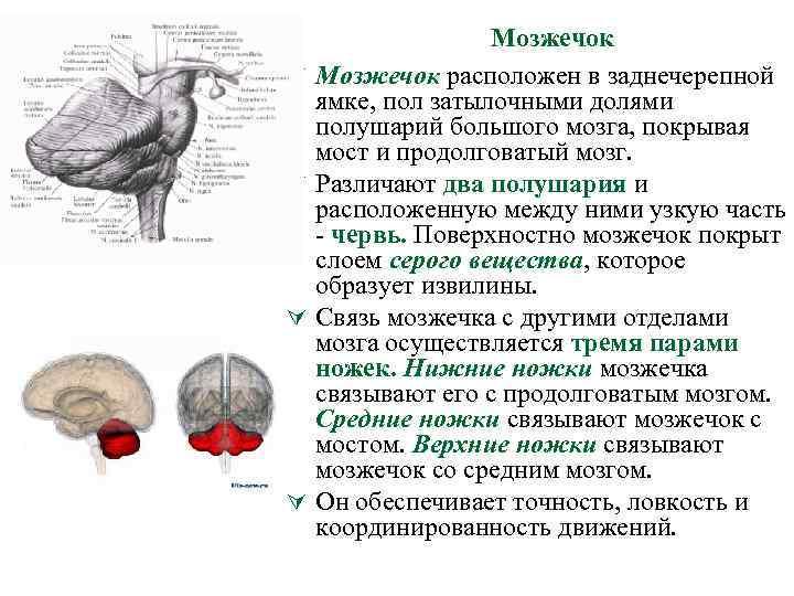 Ú Ú Мозжечок расположен в заднечерепной ямке, пол затылочными долями полушарий большого мозга, покрывая