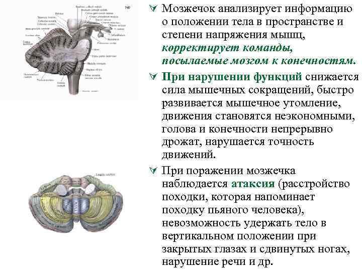 Ú Мозжечок анализирует информацию о положении тела в пространстве и степени напряжения мышц, корректирует