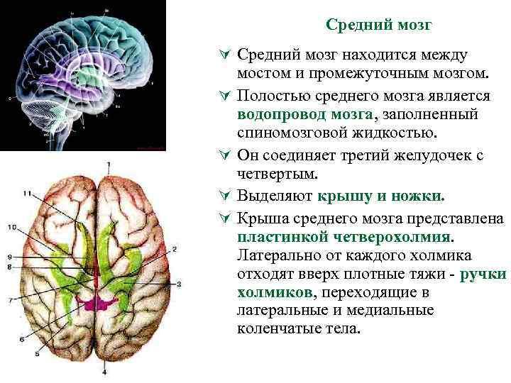 Средний мозг Ú Средний мозг находится между Ú Ú мостом и промежуточным мозгом. Полостью