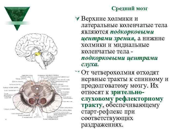 Средний мозг Ú Верхние холмики и латеральные коленчатые тела являются подкорковыми центрами зрения, а