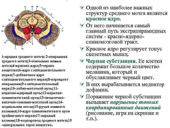 Ú Одной из наиболее важных Ú Ú 1 крыша среднего мозга; 2 покрышка среднего