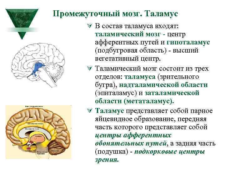 Промежуточный мозг. Таламус Ú В состав таламуса входят: таламический мозг центр афферентных путей и