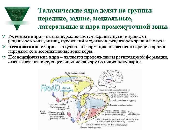 Таламические ядра делят на группы: передние, задние, медиальные, латеральные и ядра промежуточной зоны. Ú