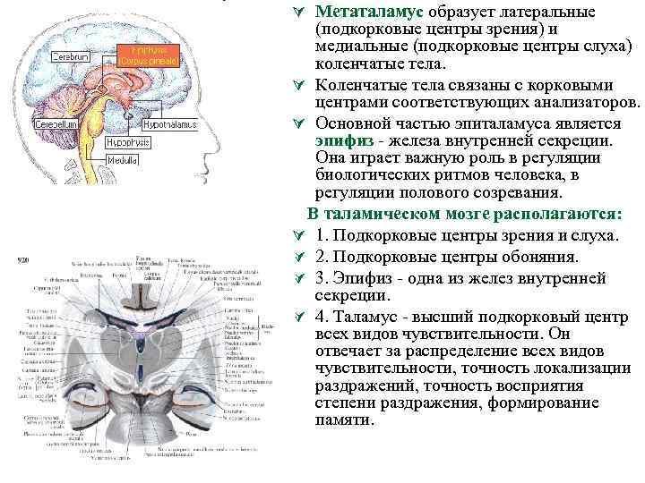 Ú Метаталамус образует латеральные (подкорковые центры зрения) и медиальные (подкорковые центры слуха) коленчатые тела.