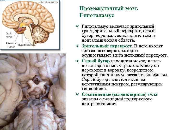 Промежуточный мозг. Гипоталамус Ú Гипоталамус включает зрительный тракт, зрительный перекрест, серый бугор, воронка, сосцевидные