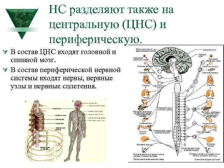 НС разделяют также на центральную (ЦНС) и периферическую. Ú В состав ЦНС входят головной