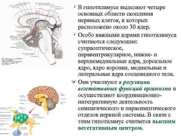 Ú В гипоталамусе выделяют четыре основных области скопления нервных клеток, в которых расположено около