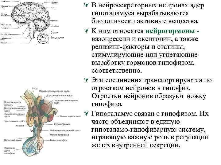 Ú В нейросекреторных нейронах ядер гипоталамуса вырабатываются биологически активные вещества. Ú К ним относятся