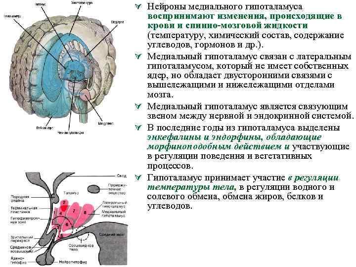 Ú Нейроны медиального гипоталамуса Ú Ú воспринимают изменения, происходящие в крови и спинно мозговой