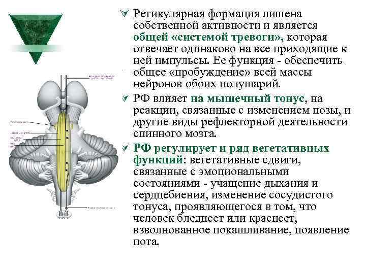 Ú Ретикулярная формация лишена собственной активности и является общей «системой тревоги» , которая отвечает