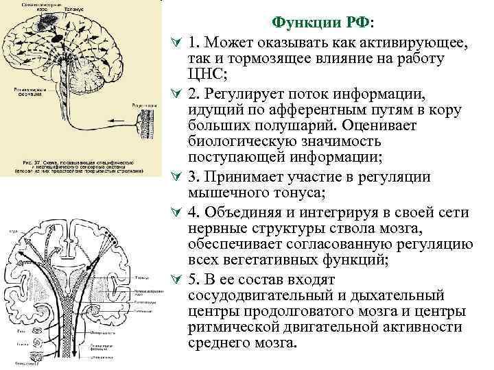Ú Ú Ú Функции РФ: 1. Может оказывать как активирующее, так и тормозящее влияние