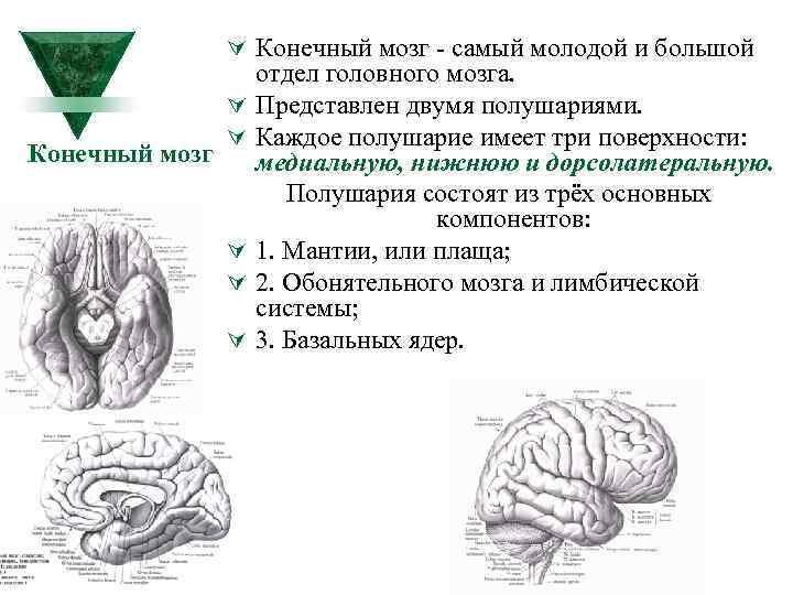 Ú Конечный мозг самый молодой и большой Конечный мозг Ú Ú Ú отдел головного