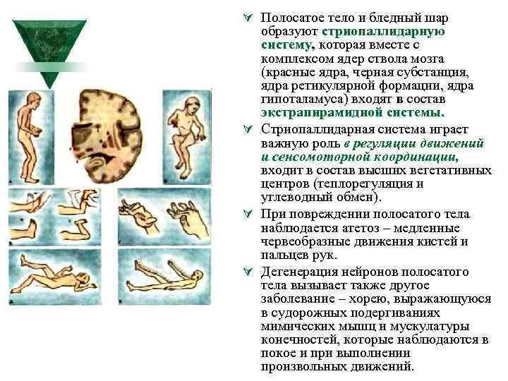 Ú Полосатое тело и бледный шар образуют стриопаллидарную систему, которая вместе с комплексом ядер