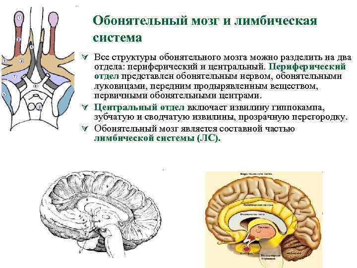 Обонятельный мозг и лимбическая система Ú Все структуры обонятельного мозга можно разделить на два