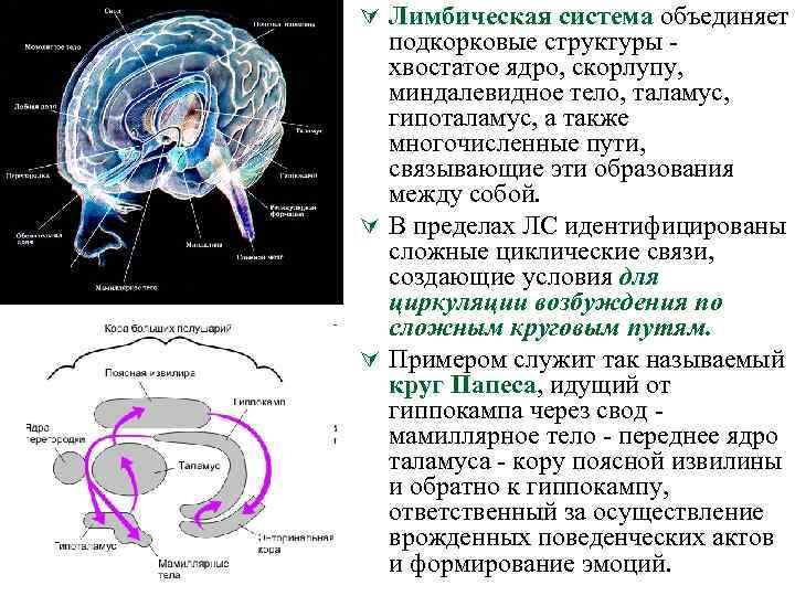 Ú Лимбическая система объединяет подкорковые структуры хвостатое ядро, скорлупу, миндалевидное тело, таламус, гипоталамус, а