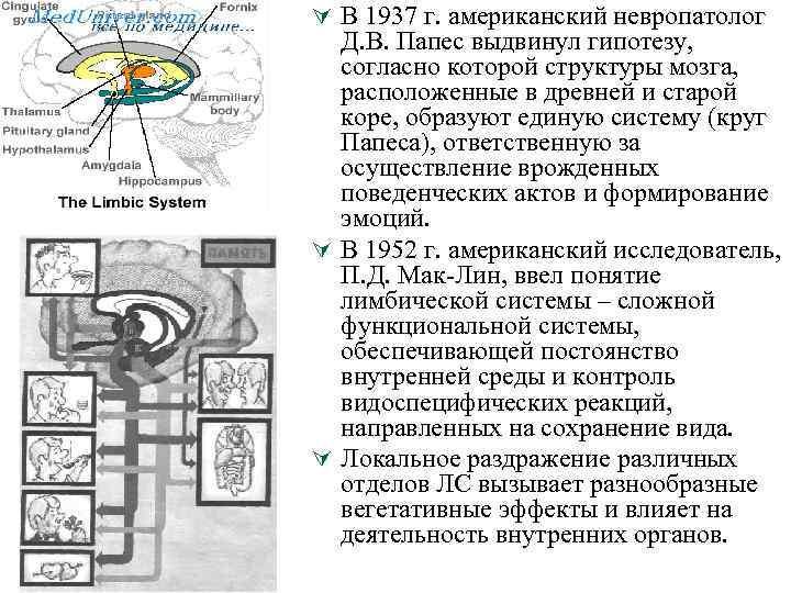 Ú В 1937 г. американский невропатолог Д. В. Папес выдвинул гипотезу, согласно которой структуры