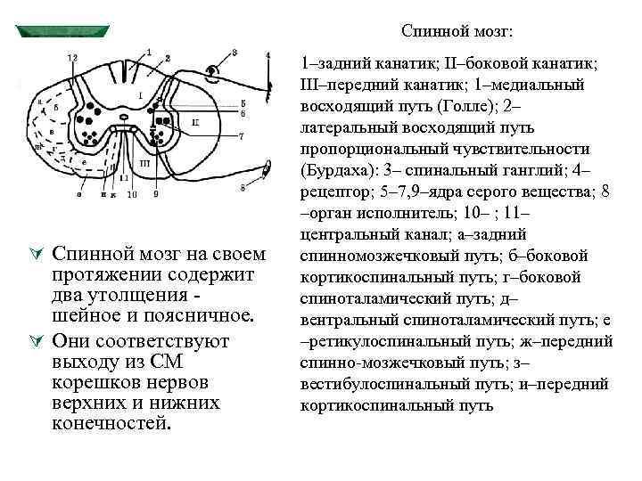 Спинной мозг: Ú Спинной мозг на своем протяжении содержит два утолщения шейное и поясничное.
