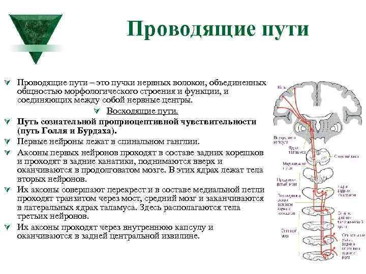 Проводящие пути Ú Проводящие пути – это пучки нервных волокон, объединенных Ú Ú Ú
