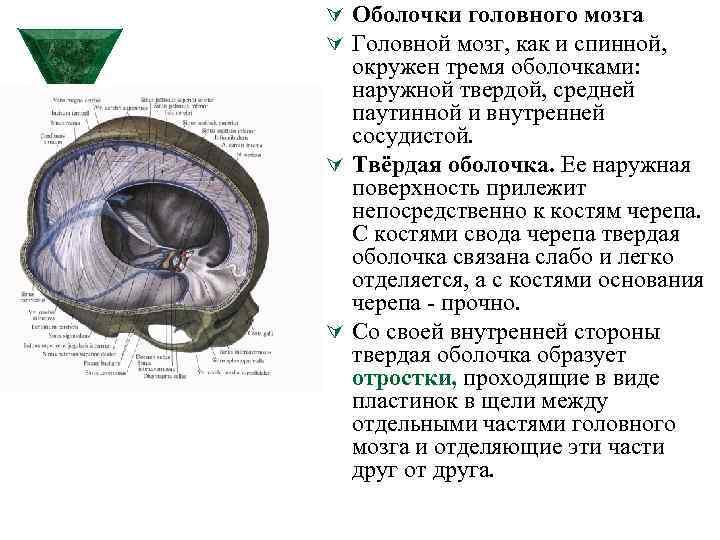 Ú Оболочки головного мозга Ú Головной мозг, как и спинной, окружен тремя оболочками: наружной