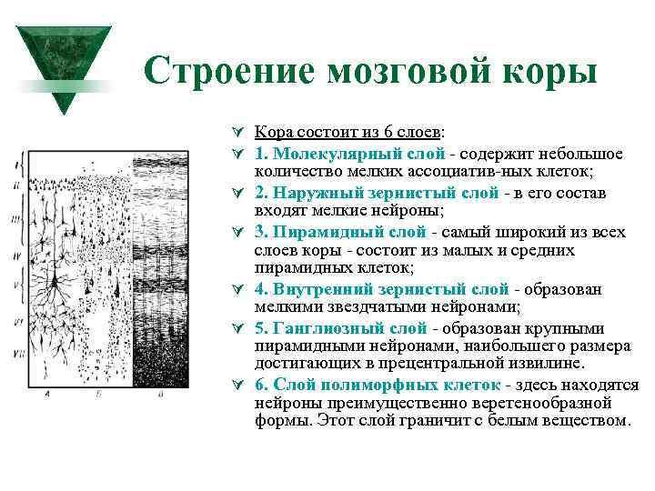 Строение мозговой коры Ú Кора состоит из 6 слоев: Ú 1. Молекулярный слой содержит