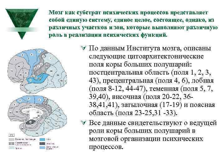 Мозг как субстрат психических процессов представляет собой единую систему, единое целое, состоящее, однако, из