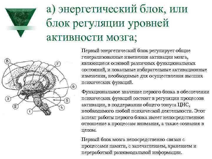 а) энергетический блок, или блок регуляции уровней активности мозга; Первый энергетический блок регулирует общие