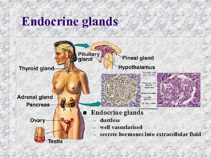 Endocrine glands n Endocrine glands – – – ductless well vascularised secrete hormones into