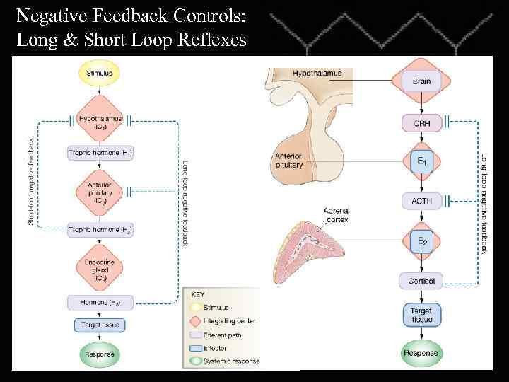 Negative Feedback Controls: Long & Short Loop Reflexes