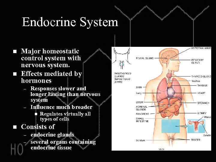 Endocrine System n n Major homeostatic control system with nervous system. Effects mediated by