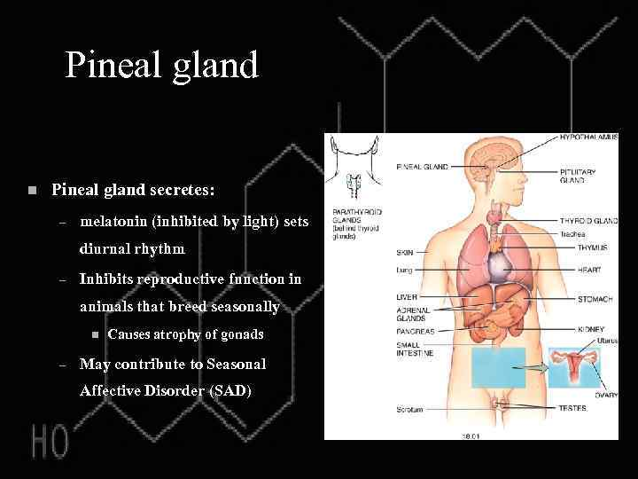 Pineal gland n Pineal gland secretes: – melatonin (inhibited by light) sets diurnal rhythm