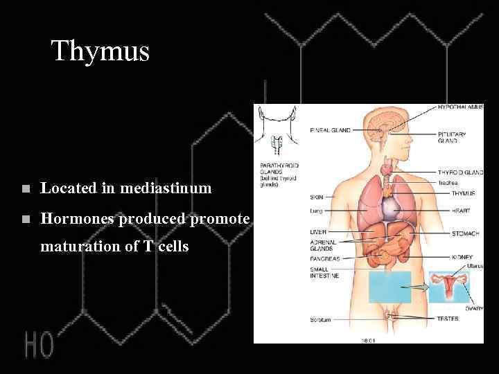 Thymus n Located in mediastinum n Hormones produced promote maturation of T cells
