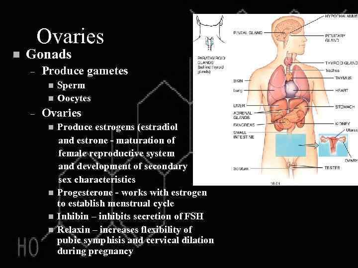 Ovaries n Gonads – Produce gametes n n – Sperm Oocytes Ovaries n n