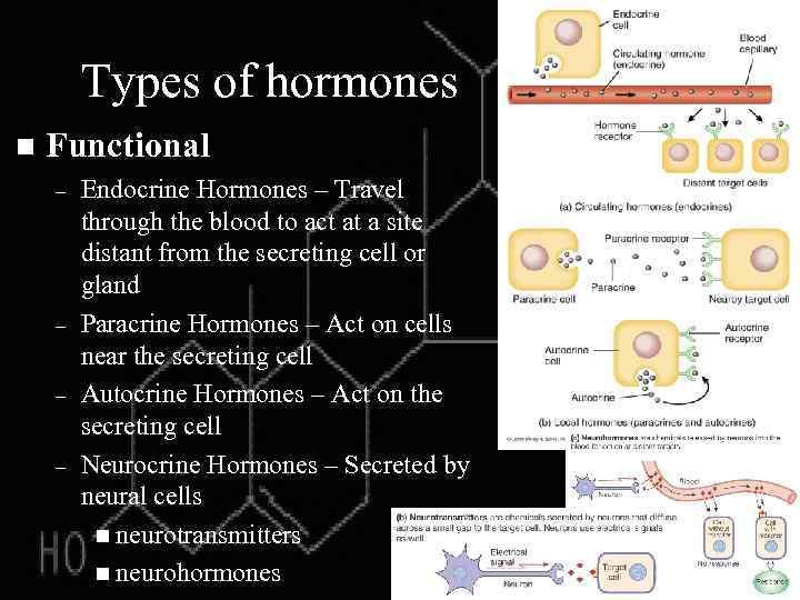 Types of hormones n Functional – – Endocrine Hormones – Travel through the blood