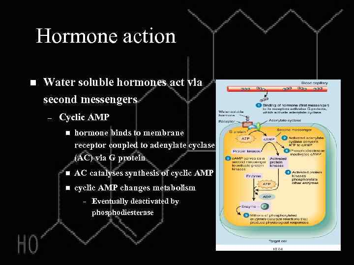 Hormone action n Water soluble hormones act via second messengers – Cyclic AMP n
