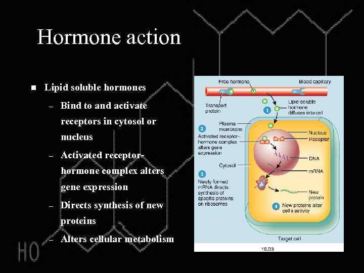 Hormone action n Lipid soluble hormones – Bind to and activate receptors in cytosol