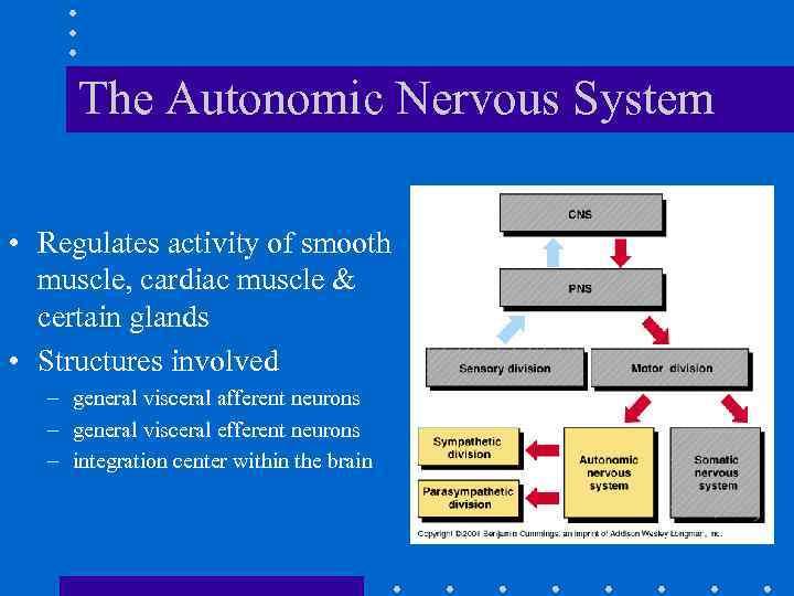 Chapter 14 Autonomic Nervous System The Autonomic