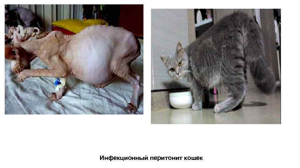 Чем Лечить Кота Не Ест Похудел. Если кошка вялая не ест и не пьет, что делать?
