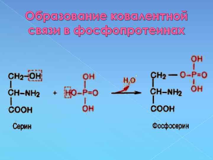 Образование ковалентной связи в фосфопротеинах