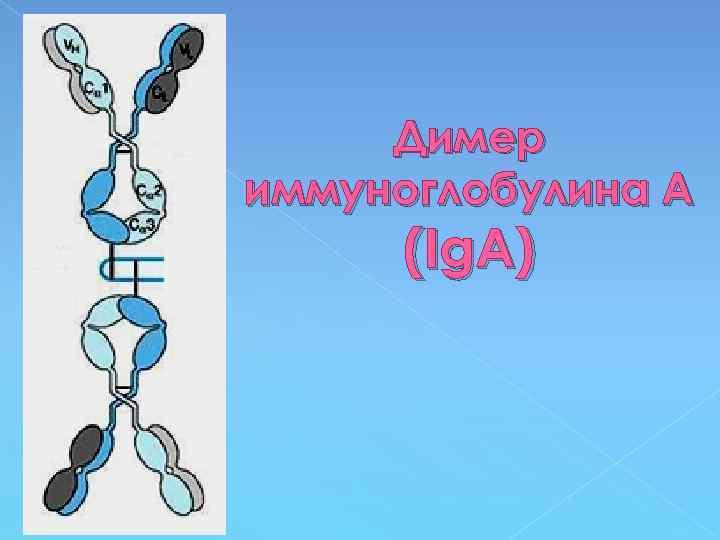 Димер иммуноглобулина А (Ig. A)