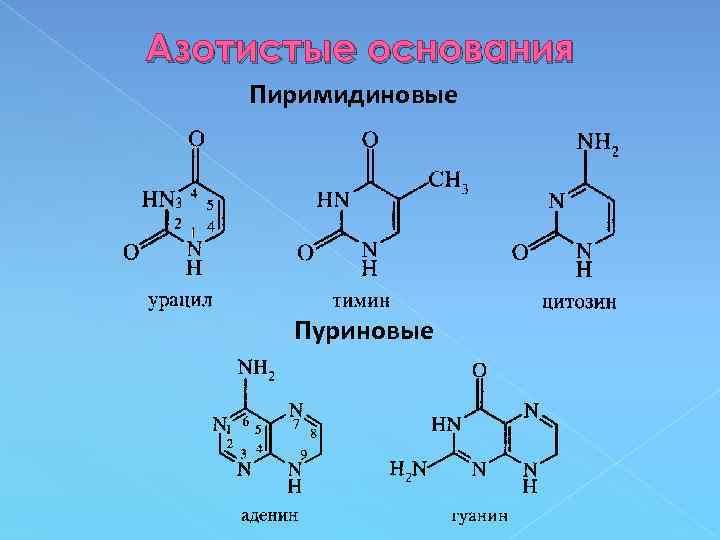 Азотистые основания Пиримидиновые Пуриновые