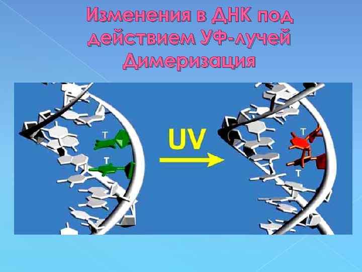 Изменения в ДНК под действием УФ-лучей Димеризация
