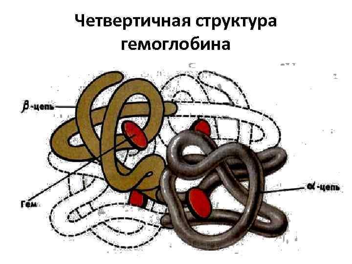 Четвертичная структура гемоглобина