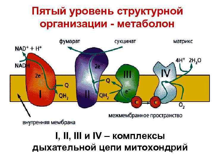 Пятый уровень структурной организации - метаболон I, III и IV – комплексы дыхательной цепи