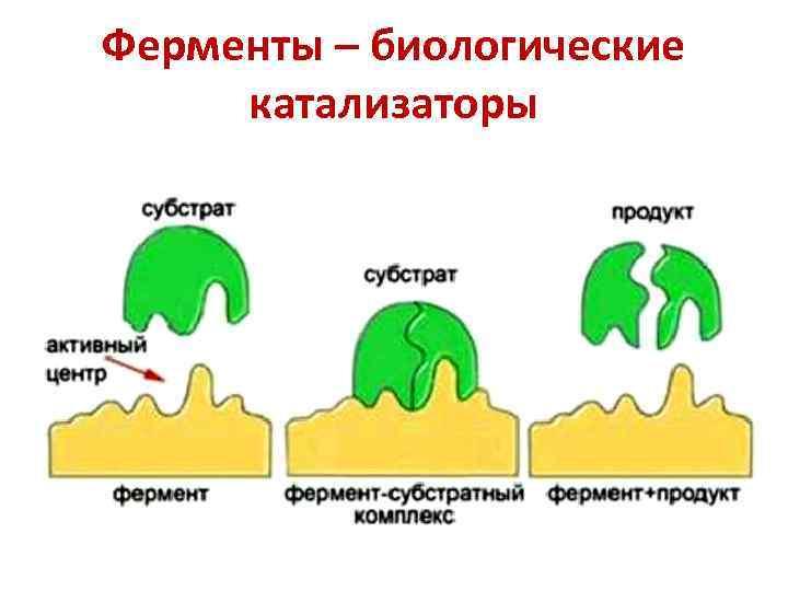 Ферменты – биологические катализаторы
