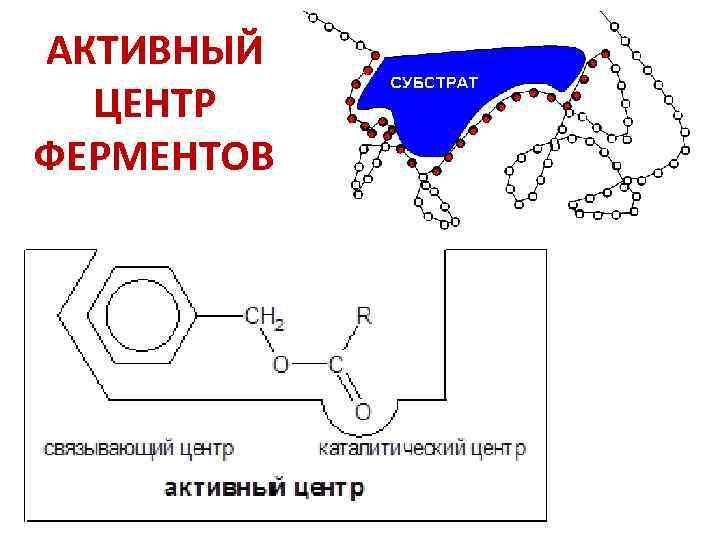 АКТИВНЫЙ ЦЕНТР ФЕРМЕНТОВ