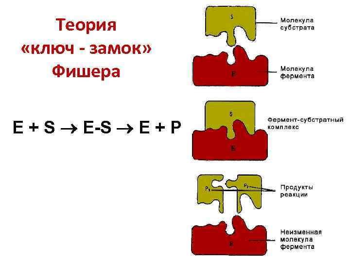 Теория «ключ - замок» Фишера E + S E-S E + P