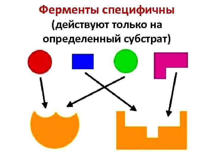 Ферменты специфичны (действуют только на определенный субстрат)