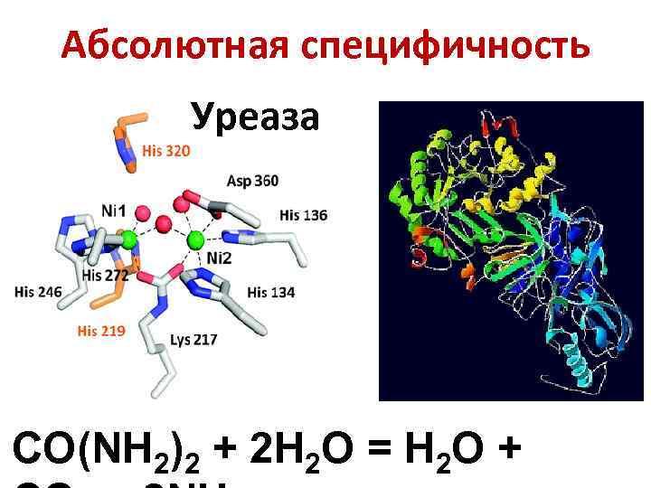 Абсолютная специфичность Уреаза CO(NH 2)2 + 2 H 2 O = H 2 O